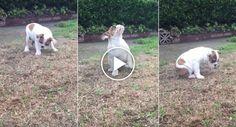 Veja a Reação Hilariante Que Este Bulldog Teve Ao Sentir a Chuva Pela 1ª Vez http://www.funco.biz/veja-reacao-hilariante-bulldog-teve-sentir-chuva-pela-1a-vez/