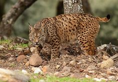 The Iberian lynx, also known as the Spanish lynx, is the most endangered wild cat species in the world