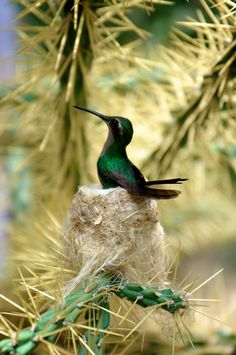 A humming bird in its nest in a Cuban national park near Cienfuegos
