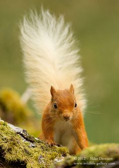 Cheeky Squirrel, A Scottish Highlands 'Classic Red'