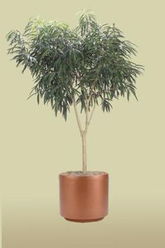 Alii Standard, Foliage Design Systems New Jersey, NJ Plants, Indoor Artificial Office Plants, Interior Live Plants