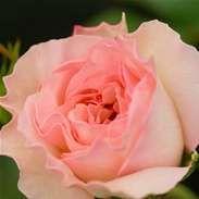 Rose Floribunda 'Pearl'..got this one... Delphinium, Hydrangea, Peonies, Tulips, Floribunda Roses, Pearl Rose, Wild Bird Food, Hardy Plants, Lilac