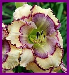 Stenciled Infusion (Guy Pierce 2014) 5 seeds. Exotic Flowers 1113ddbe2