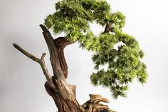 Bonsai, Pine Tree, Plants, How To Make, Craft, Style, Swag, Pine, Creative Crafts