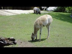 Kangaroo, Animals, Animais, Animales, Animaux, Animal, Dieren, Kangaroos
