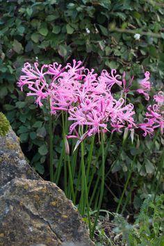 Nerine bowdenii - beautiful flowers in Autumn. RHS AGM. Just flowering in October in my garden.