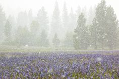 """""""Snowy Sagehen Meadows 2"""" - This field of Camas Lillies was photographed during a snow storm at Sagehen Meadows, near Truckee, California."""