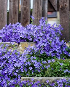Creeping Campanula is such a reliable plant. The most beautiful vibrant blue, flowers for months. Most Beautiful Flowers, Pretty Flowers, Purple Flowers, Beautiful Gardens, Landscaping Plants, Garden Plants, Outdoor Plants, Outdoor Gardens, Ground Cover Plants