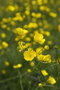 meadow buttercup.  Grassland perennial.  yellow flowers appear apr-oct  Buttercups by l4ts, via Flickr