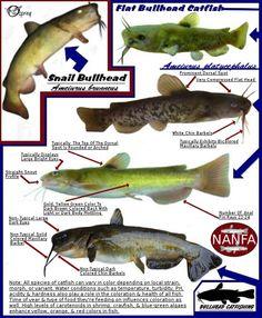 Snail & Flat Bullhead ID Chart - Avg. Large Snail Bullheads can reach 24 inches. Catfish Rigs, Blue Catfish, Catfish Bait, Catfish Fishing, Fishing Hook Knots, Best Fishing Rods, Fishing Tips, Fishing Lures, Cat Fishing