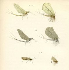 Mayflies - NO! Fishflies