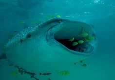 whale shark pictures | Whale shark ( Rhincodon typus ) swimming with golden trevallies ...