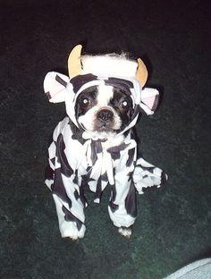 Boston Terrier in cow costume