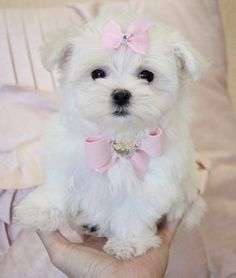 maltese. Exactly what Daisy looked like when she was a tiny puppy. Except for the pink bows.