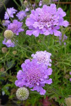 'Butterfly Blue' Scabiosa. This one's got it goin' ON! Good as a cut flower, is deer resistant and attracts hummingbirds!
