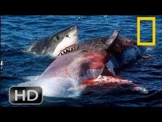 Orca Whale vs. Great white shark!!! MUST SEE - YouTube