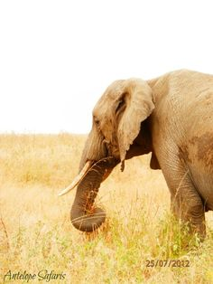 www.antelopesafaris.com Tour Guide, Safari, Elephant, Tours, Animals, Animais, Animales, Animaux, Elephants