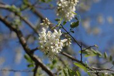 robinia flower in the sky Dandelion, Sky, Flowers, Plants, Kitchen, Cooking, Heaven, Dandelions, Flora