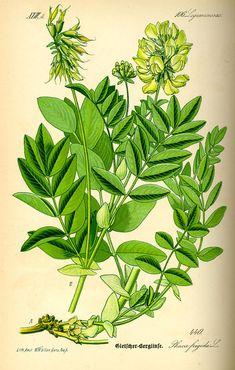 Flora von Deutschland Österreich und der Schweiz (1885) - Astragulus frigidus