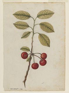 Watercolour - Cherry; Bullace (wild plum) - Victoria & Albert Museum - Le Moyne de Morgues