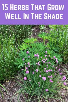 Grow one of these beautiful, fragrant and delicious herbs even in the shadiest of spots. Veg Garden, Fruit Garden, Edible Garden, Lawn And Garden, Herb Gardening, Flower Gardening, Culture D'herbes, Woodland Garden, Herbs Indoors