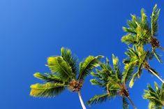 blue sky coconut trees hd