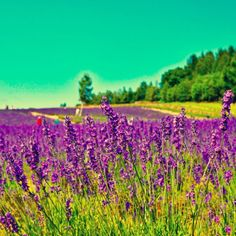 Furano - beautiful lavender field