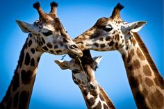 Giraffes - One of the world's most beautiful creatures