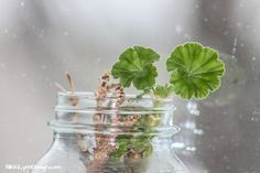 Overwintering Geraniums - I Have Growth