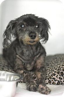 New York, NY - Maltese/Poodle (Miniature) Mix. Meet Scotty, a dog for adoption. http://www.adoptapet.com/pet/14925573-new-york-new-york-maltese-mix
