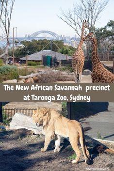 African Savannah at Taronga Zoo, Sydney Travel With Kids, Family Travel, Giraffe Habitat, Parks In Sydney, Kid Friendly Restaurants, Visit Sydney, Animal Experiences, Fennec Fox, Male Lion