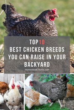 Do you want to raise chickens at your home? Fortunately, we have a list of the best chickens to raise in your yard.