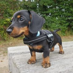 Oakley is Adorable! Dachshund Puppies, Weenie Dogs, Dachshund Love, Cute Puppies, Dogs And Puppies, Daschund, Doggies, Cool Dog Houses, Cute Baby Animals