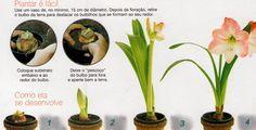 Como plantar a surpreendente Amarílis - Jardim de Flores