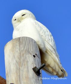 Snowy Owl! So unimpressed by me. The older I get the less spots I have & the more white I become