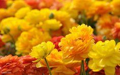 黄色とオレンジの花畑の壁紙