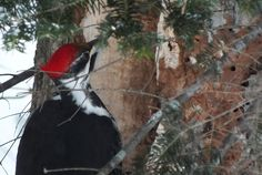 This past Sunday, Bob and I sighted two pileated woodpeckers working on breakfast near Oxtongue Lake in Ontario.