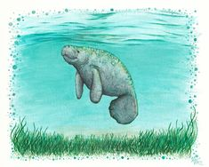 """'""""Mossy Manatee"""" by Amber Marine ~ Watercolor and ink painting, art © Canvas Print by Amber Marine ~ Wildlife Artist ~ © Watercolor Canvas, Watercolor And Ink, Watercolor Ideas, Watercolor Animals, Watercolor Paintings, Framed Art Prints, Canvas Prints, Wale, Ink Painting"""