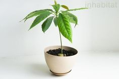 Do you want your own avocado plant? With only one avocado core, the . - Do you want your own avocado plant? The adventure begins with just one avocado core. You can find ou - Growing An Avocado Tree, Growing Tree, Growing Plants, Avacado Tree From Seed, Indoor Plants, Garden Plants, Container Gardening, Gardening Tips, Avocado Dessert
