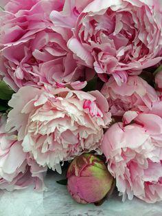 Cut flowers: peonies