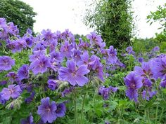 Geranium magnificum (Ooievaarsbek) | VASTE PLANTEN | Tuinplanten stekplek