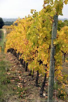 Autumn in the vineyard, Tuscany, Italy
