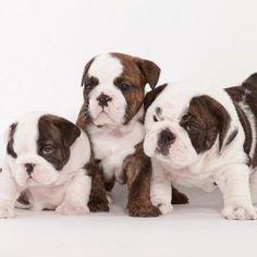 Brindle Bulldog puppies!!