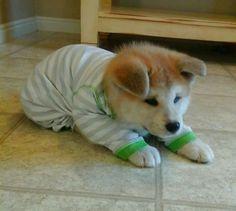 Japanese Akita puppy