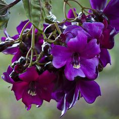 Meriania nobilis | Taken in La Ceja, Antioquia, Colombia; 2.… | Flickr