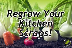 Re-grow your Vegetables and Herbs from Recycled Kitchen Scraps - Save Money with Free Food Regrow Celery, Regrow Vegetables, Fresh Fruits And Vegetables, Growing Vegetables, Veggies, Growing Greens, Growing Plants, Container Gardening, Gardening Tips