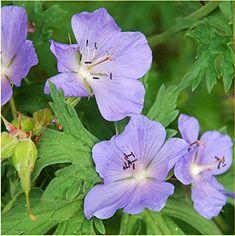 GERANIUM Pratense Blue Violet Flower Seeds *Comb S//H 20 MEADOW CRANESBILL