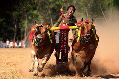 Cow Race, Madura
