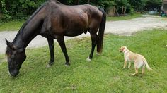 My first horse being introduced to my dogs. He is a 14 year old Tennessee Walker named Senator. The whole family fell in love.