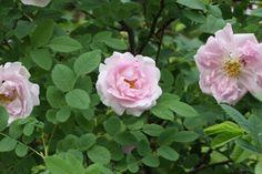 ruusun hehkua